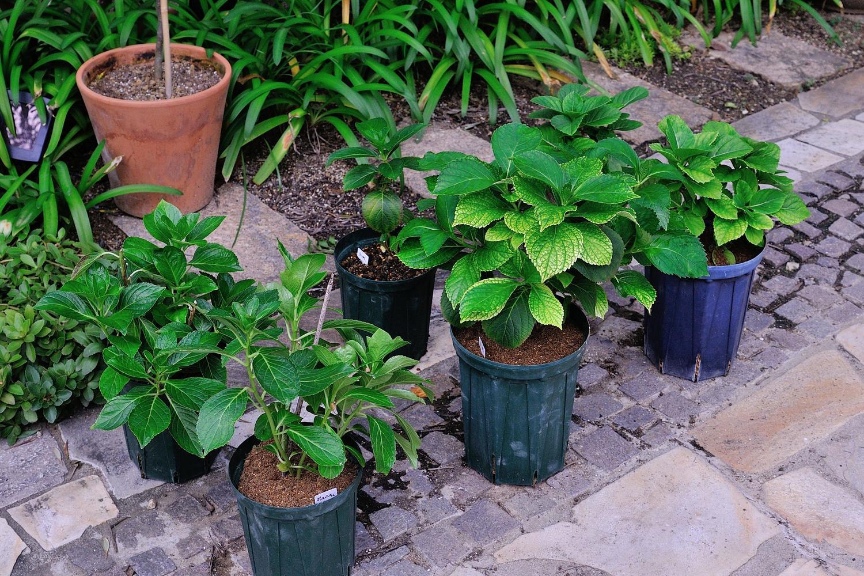 地 時期 紫陽花 植え