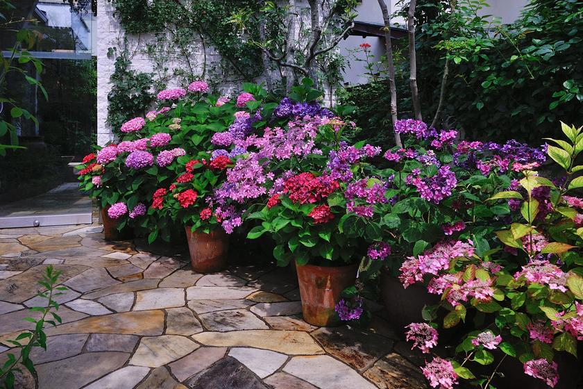紫陽花 庭に植えてはいけない