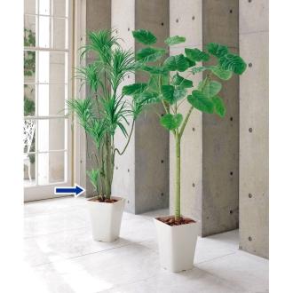 ディノス オンラインショップCT触媒インテリアグリーン ドラセナ 約径70高さ160cm・重量約4.1kg